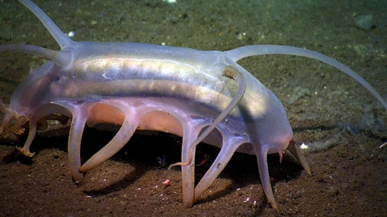 Deep-sea sea cucumbers (such as this Scotoplanes sp. also known as a sea pig) are a vital part of the deep ocean. As temperature changes one potential outcome is the reduction in these animals in favor of smaller organisms. Credit Image courtesy of Ocean Networks Canada: www.oceannetworks.ca