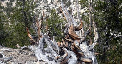 Picture of the bristlecone pine forest in California, the United States where the bristlecone pine sample for this study used to live (taken by Prof. A.J.T. Jull). In this forest, there are many living old trees exceed 1000 years old. Harsh environments make bristlecone pines very dense and long lives. Credit A.J.T.Jull