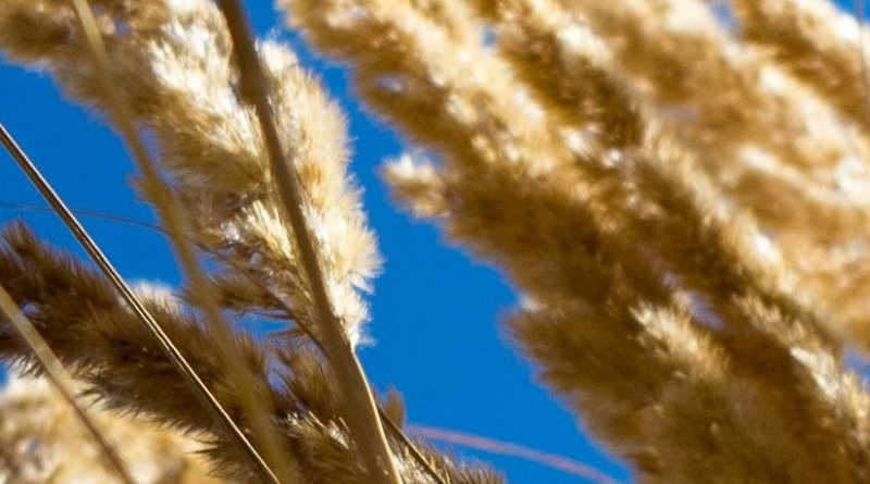 Wheat ready for harvest.
