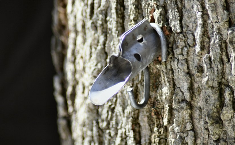 Tap inserted in Maple tree to collect extract.