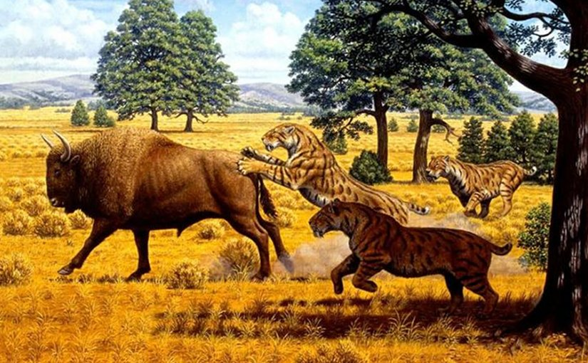 A reconstructed scene in the Pleistocene of western North America shows a group of three saber-toothed cats of the species Smilodon fatalis, pursuing a bison. Credit Artwork by Mauricio Antón