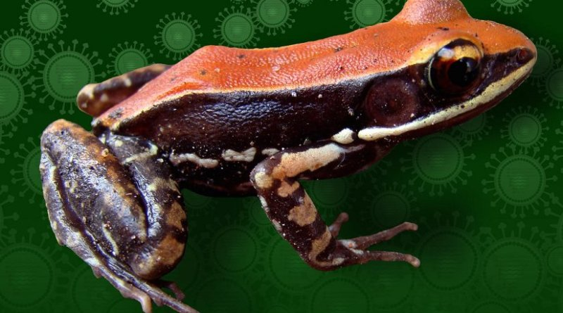 The South Indian frog Hydrophylax bahuvistara is shown. Credit Sanil George + Jessica Shartouny