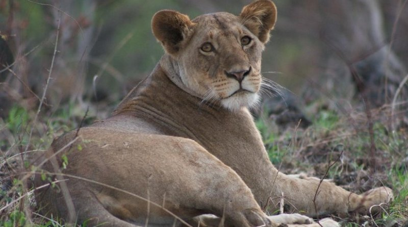 This is a picture of African Lion taken in Kenya. Credit Dr Chris Sandom