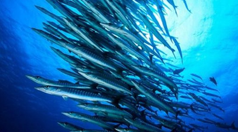 A large school of blackfin barracuda (Sphyraena genie); a top predator on Sudanese coral reefs in the Red Sea. Credit © 2017 Tane Sinclair-Taylor