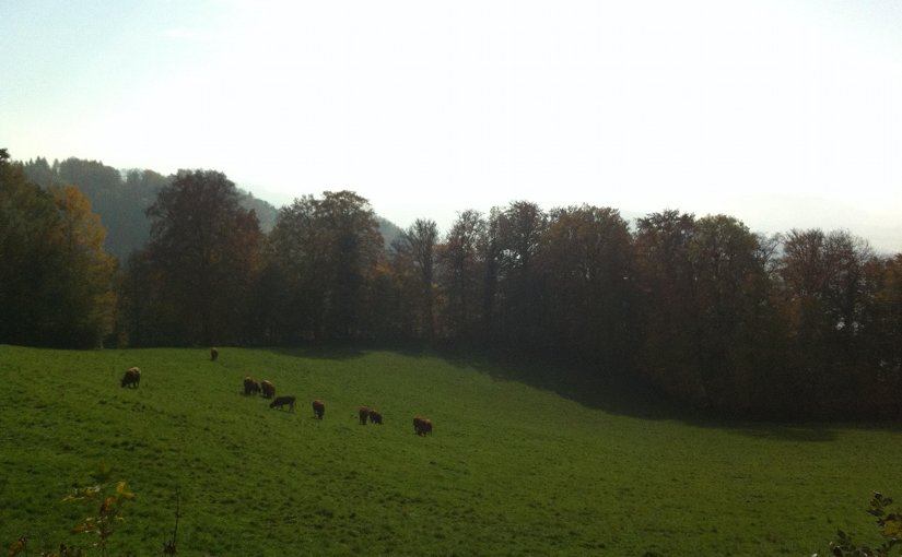 Dairy cows in Switzerland.