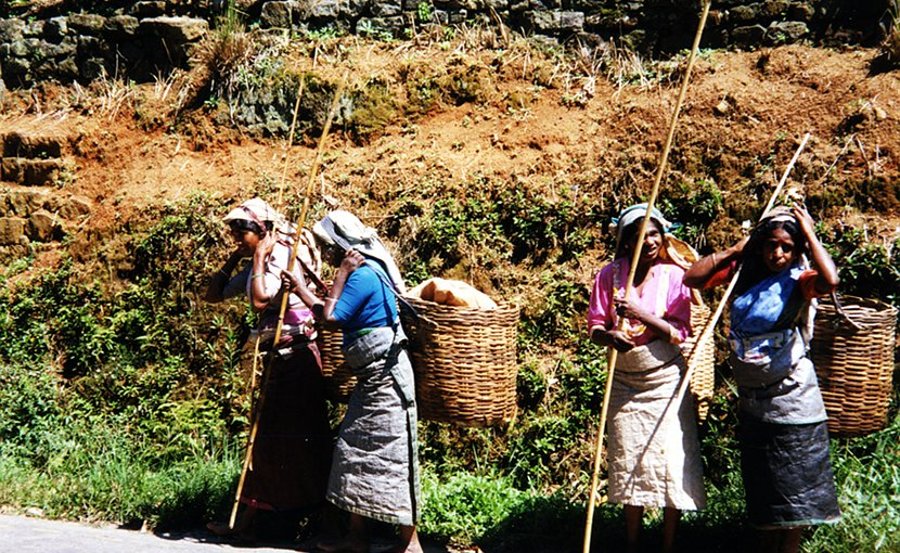 Women in Sri Lanka harvesting tea.