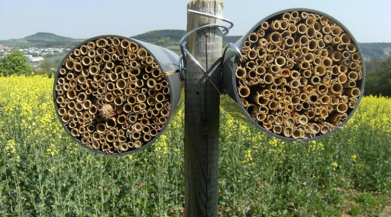 Nesting aids at the edges of fields can increase the numbers of wild bees: The insects lay their eggs in short bundles of reed. Credit (Photo: Verena Rieding)
