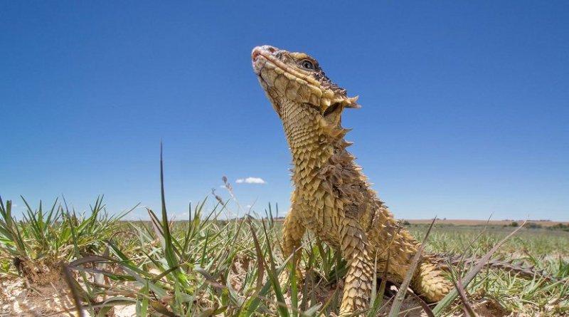 A sungazer lizard in its natural habitat. Credit Shivan Parusnath/Wits University