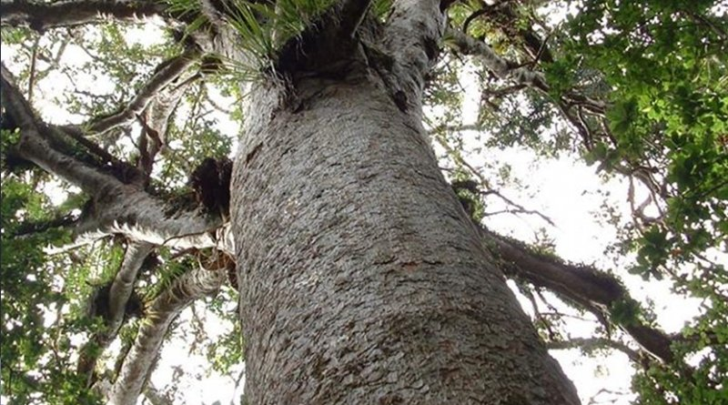 The massive New Zealand kauri trees can live up to 2,000 years and grow to an immense height. Credit www.ancientkauriproject.com