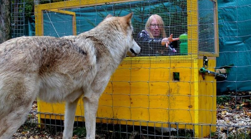Wolves are better in causal reasoning than dogs. Credit Michelle Lampe/Wolf Science Center