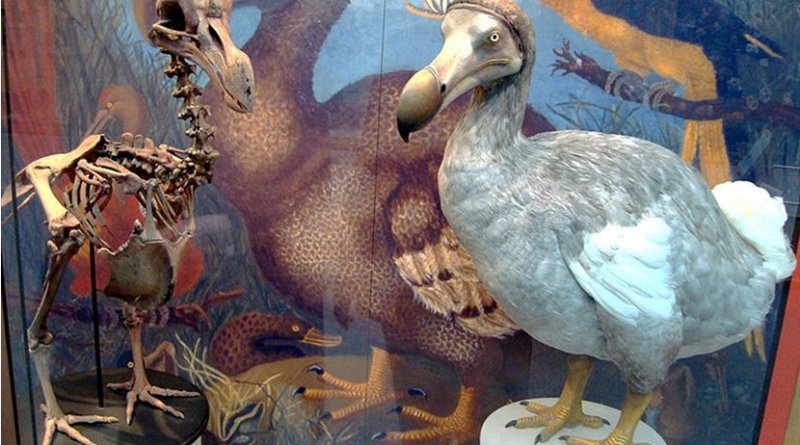 Skeleton cast and model of dodo at the Oxford University Museum of Natural History, based on modern research. Photo by BazzaDaRambler, Wikipedia Commons.