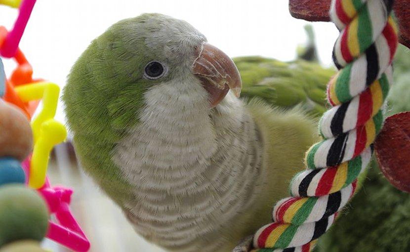 A pet Monk Parakeet. Photo by Yolanda, Wikipedia Commons.