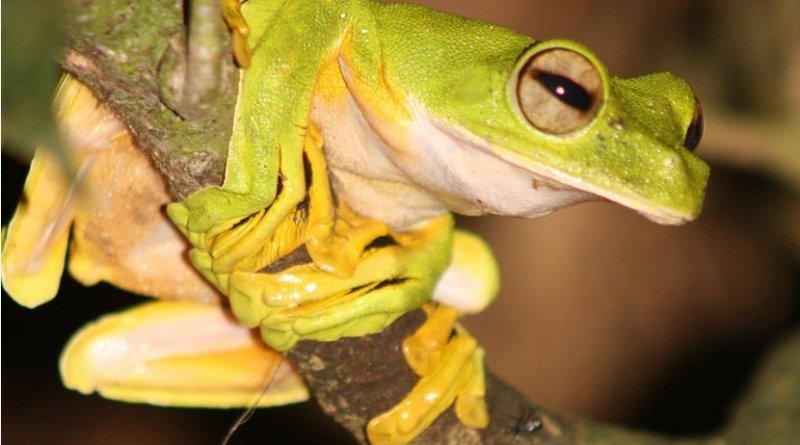 Wallace's flying frog. Credit University of Sheffield: Rebecca Senior