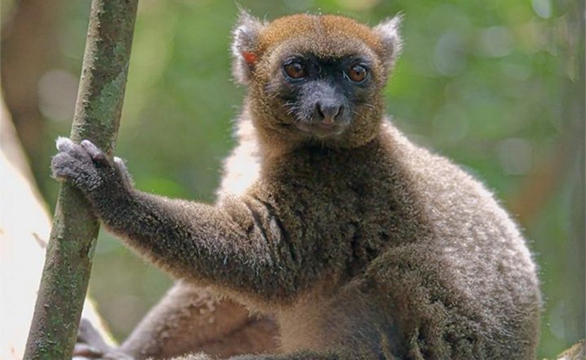 This is a photograph of the greater bamboo lemur is a small cat sized primate living on the island of Madagascar and is considered to be one of the most endangered primates on Earth. Credit Jukka Jernvall