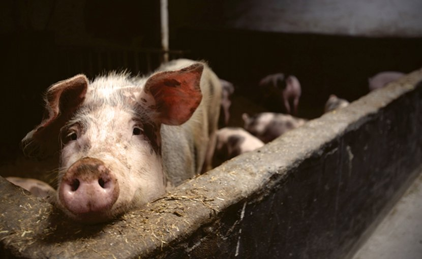 Domestic pigs are highly susceptible to the African swine fever virus © Matthias Zomer - Pexels