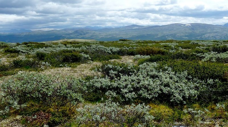 Global warming has helped create favourable conditions for shrubs to invade alpine communities. A consortium of researchers led by the Norwegian University of Science and Technology is discovering what the effects of this invasion mean for carbon cycling. Photo: Mia Vedel Sørensen, NTNU