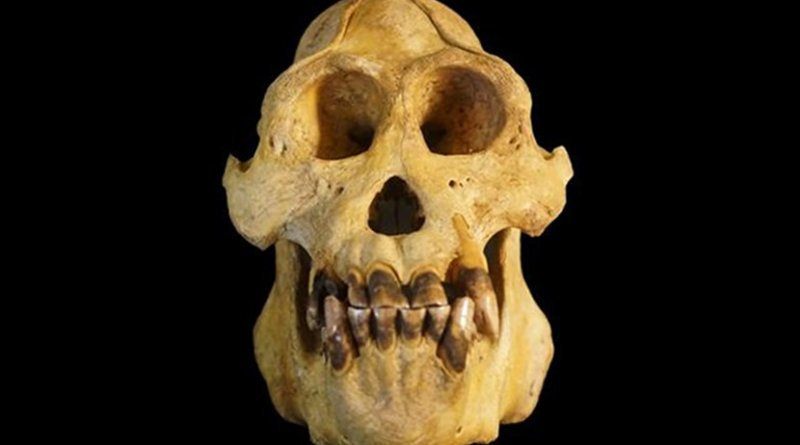 This is a photogrpah of a Pongo tapanuliensis skull. Credit Nater et al.