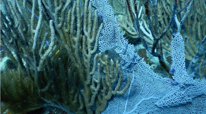 Damaged gorgonian corals on a reef off the coast of St. John, US Virgin Islands. The living tissue on many of the branches have been chipped or torn off, leaving only the dark non-living core of the branch. Credit Credit: Howard Lasker