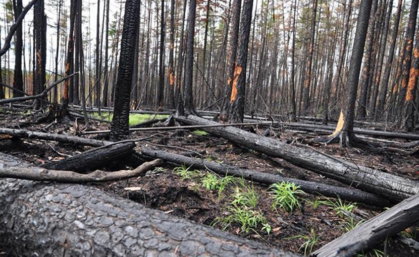 Due to the location of the trees, the concentration of charcoal differs from place to place. Credit Photo by Bryanin S.V.