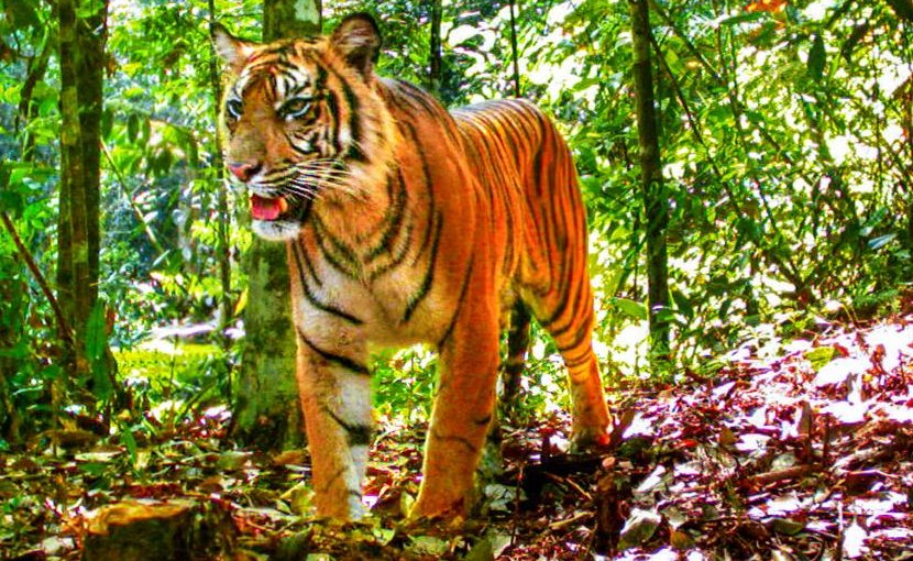 A tiger poses for a camera trap in Sumatra. Credit Matthew Luskin