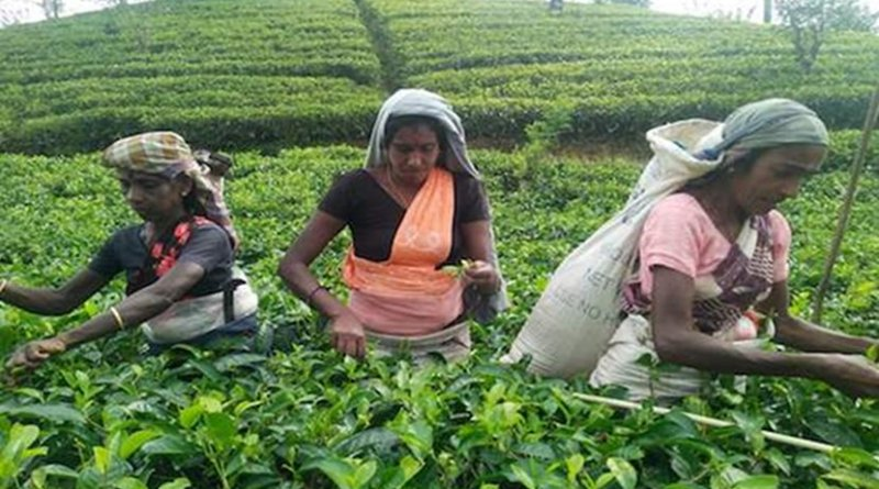 Female workers pluck tea leaves on a Sri Lankan plantation. They are among the poorest paid workers in the country. (Photo supplied)