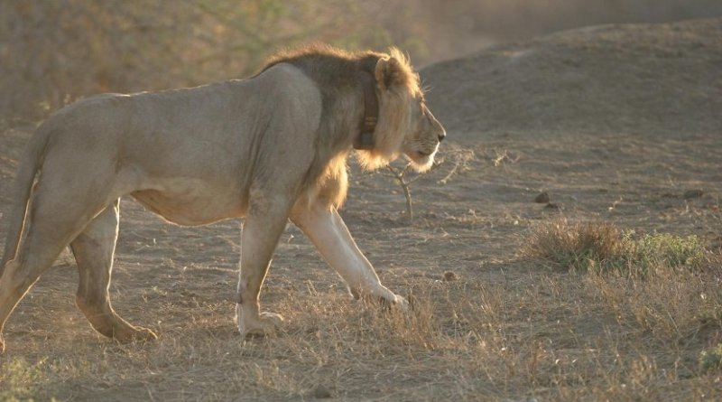 One of the lions in Tsavo, Kenya, whose movements were tracked for this study. Credit (c) Bruce D. Patterson, The Field Museum