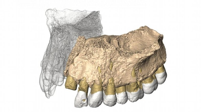 Reconstruced maxilla from microCT images. Credit Gerhard Weber, University of Vienna, Austria