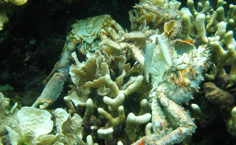 Low oxygen caused the death of these corals and others in Bocas del Toro, Panama. The dead crabs pictured also succumbed to the loss of dissolved oxygen. Credit (Credit: Arcadio Castillo/Smithsonian)