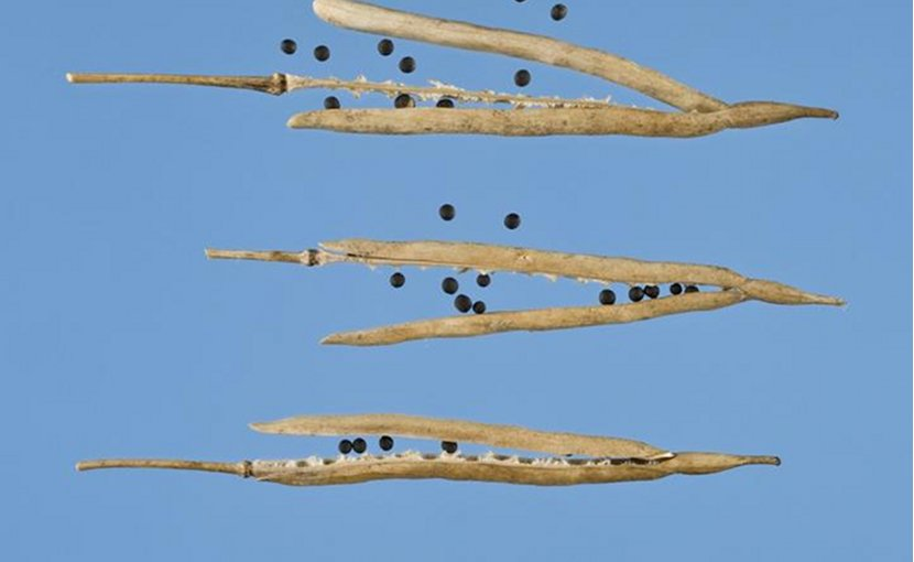 Pod shatter is a major issue for farmers of oilseed rape worldwide who lose between 15-20 percent of yield on average per year due to prematurely dispersed seeds lost in the field. Credit John Innes Centre