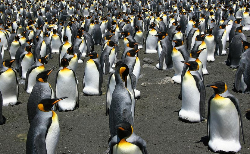 The pinguins form colonies in Crozet, Kerguelen and Marion sub-Antarctic islands. Credit Copyright: Celine LeBohec