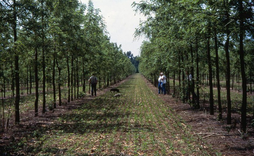 Agroforestry, on average, stores markedly more carbon than agriculture, researchers found. Here, alley cropping walnut and soybeans is shown in Missouri. In the United States, agroforestry is lauded for its environmental benefits; in the tropics its economic benefits are seen as in dispensable. Credit USDA National Agroforestry Center