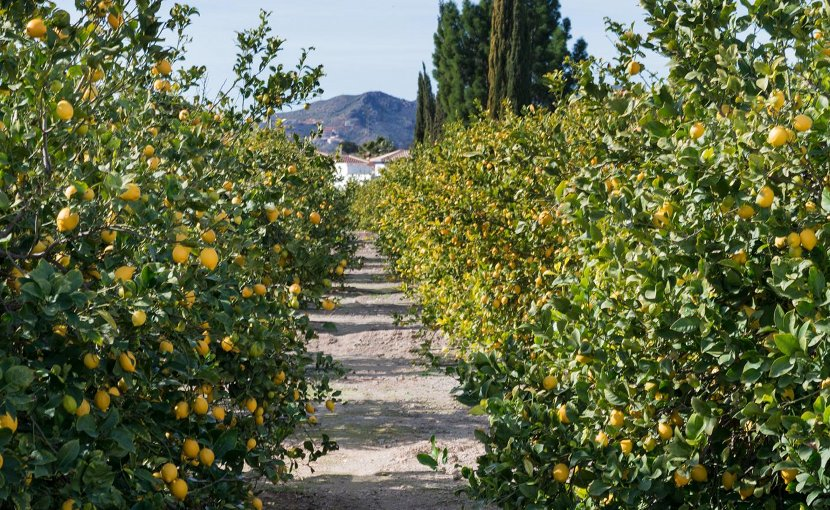 This is a lemon grove. Credit Queen's University Belfast
