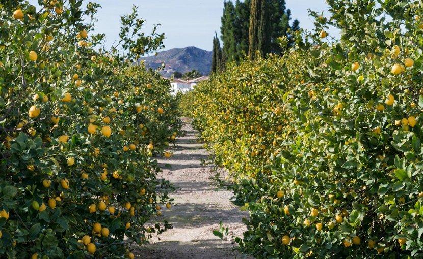 This is a lemon grove. Credit Queen's University Belfast