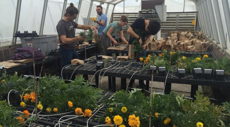 Andrew Margenot and others found that biochar can replace peat moss in marigold production with no adverse effects. Credit Andrew Margenot
