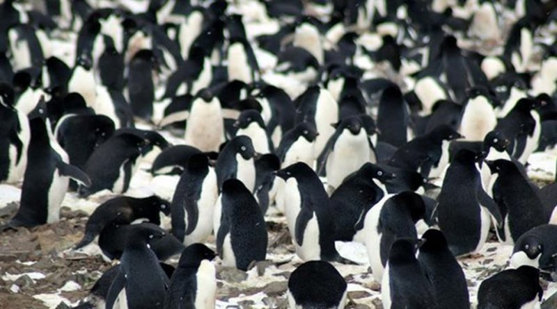 The researchers found that the Danger Islands have 751,527 pairs of Adélie penguins--more than the rest of the entire Antarctic Peninsula region combined. They include the third and fourth largest Adélie penguin colonies in the world. Credit Michael Polito, © Louisiana State University