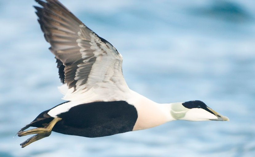 A male common eider duck. Photo: Einar Kongshaug
