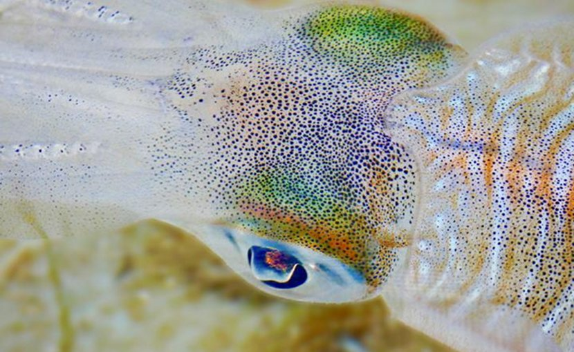 This is a close up of adult bigfin reef squid, Sepioteuthis lessoniana. Credit Blake Spady, Coral CoE