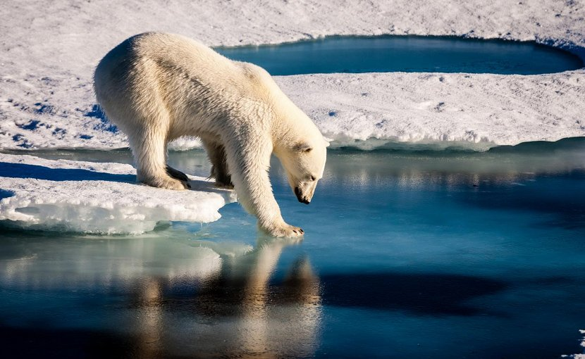 Polar bear reaching out paw to touch ice. Photo credit: Mario Hoppmann, Wikimedia Commons.