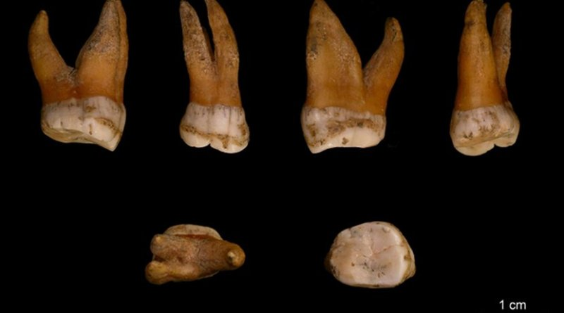 Upper molar of a male Neandertal, Spy 94a, from Spy, Belgium. Credit I. Crevecoeur