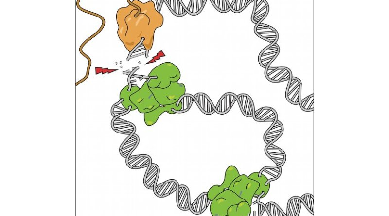 he replication (green) and transcription (brown) machineries are simultaneously active on the genes carrying a replication origin, resulting in collisions and DNA breaks.