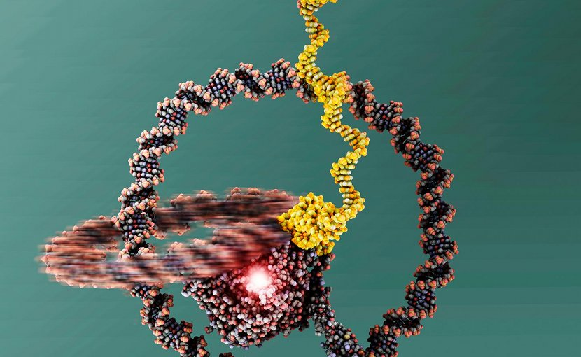 The two rings are linked like a chain and can well be recognized. At the centre there is the T7 RNA Polymerase. Credit: Julián Valero