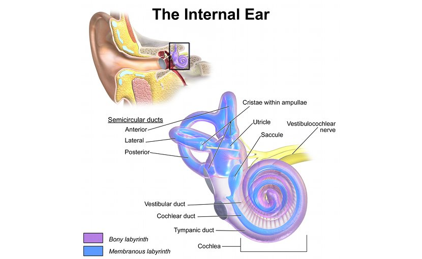 Internal Ear Anatomy. Graphic by BruceBlaus, Wikimedia Commons.