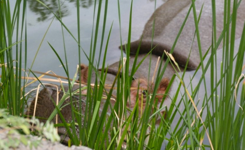 A hippopotamus