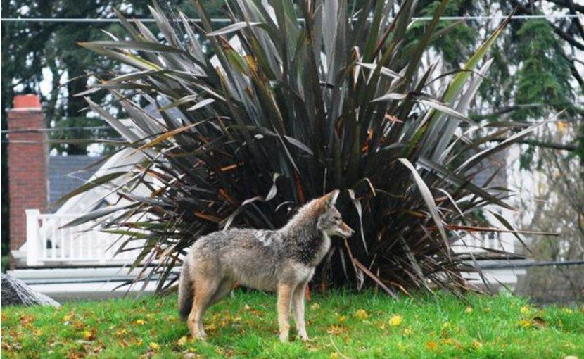 A coyote near homes.