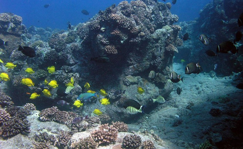 This is a healthy reef in Hawai'i. Credit Kostantinos Stamoulis