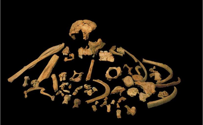Fossils of Homo antecessor found at level TD6 of Gran Dolina /J.M. Bermúdez de Castro, M.N.C.N. (12)