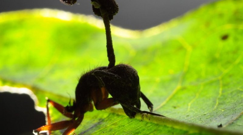 This is a carpenter ant in the tropical rain forest manipulated by fungus to bite onto a leaf up high in the vegetation and die, raining spores on the ants below. Credit David Hughes, Penn State
