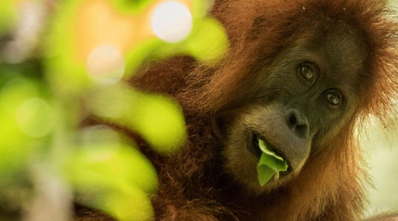 A Tapanuli orangutan (Pongo tapanuliensis) in northern Sumatra, Indonesia. Credit Maxime Aliaga