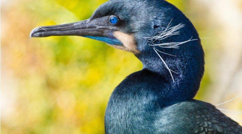 This is a Brandt's cormorant. Credit Annie Schmidt/UC Davis