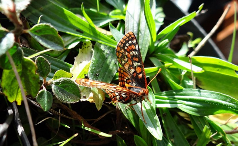 This is an Edith's checkerspot butterfly (Euphydryas editha) on a narrow-leaved plantain (Plantago lanceolata). Credit Michael C. Singer/University of Plymouth